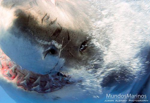 Tiburonblanco24