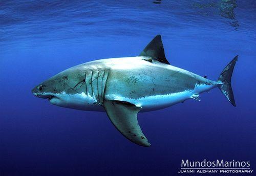 Tiburonblanco15
