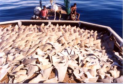 Shark_fin_boat