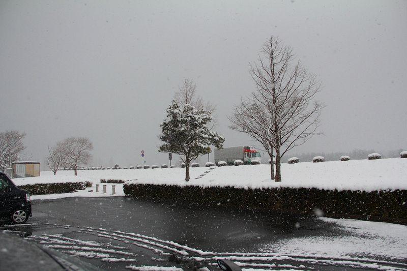 SnowyjapanDorado1