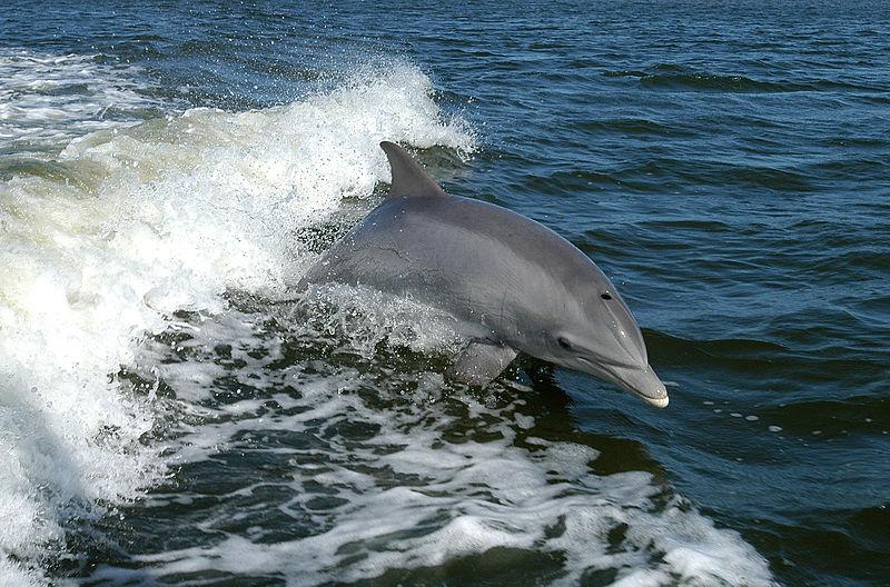 DolphinWikapedia