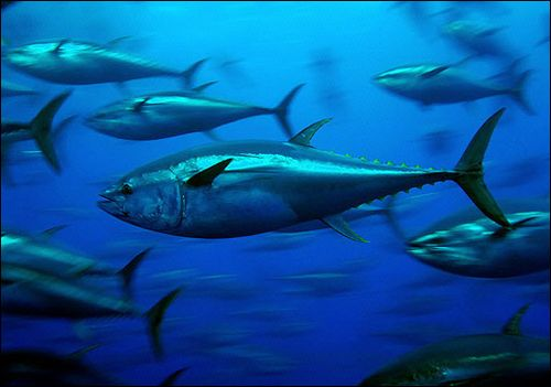 Bluefin-tuna_greenpeace