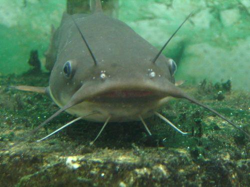 Catfish2