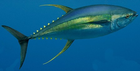 Yellowfin_tuna
