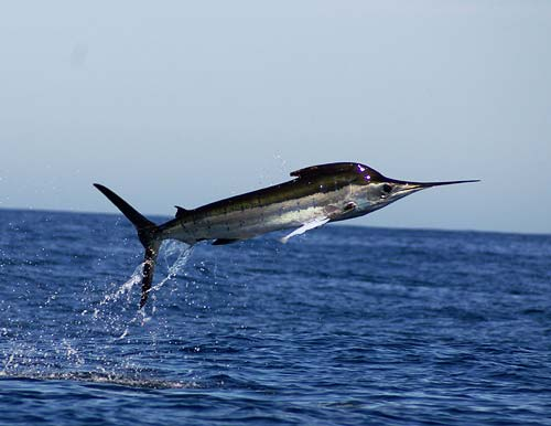 Striped-Marlin-Pictures