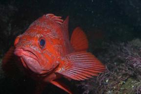 Vermillian_rockfish