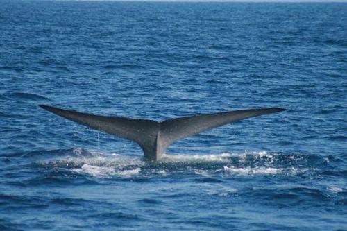 BluewhaleFluke