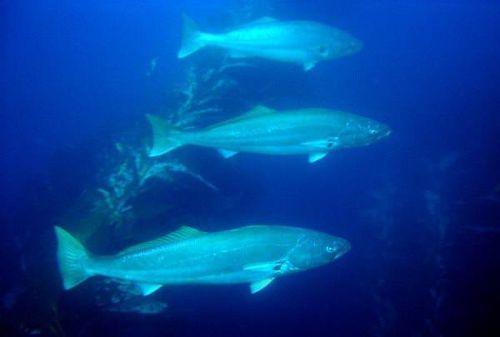 White-sea-bass5