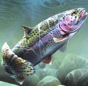 Rainbow-trout2