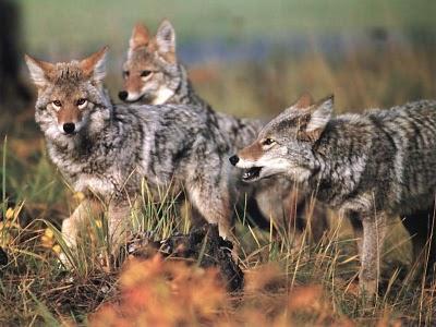 Coyote-babies