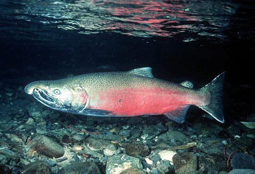 ChinookSalmonSwimming